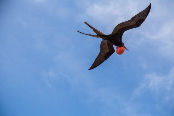 Frigatebird, Seymour Norte, Galapagos