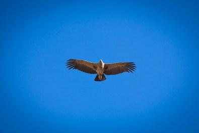 Andean Condor, Colca Canyon, Arequipa, Peru