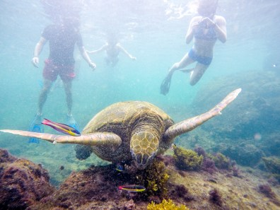 Snorkeling with the sea turtles, Isla Isabela Los Tuneles