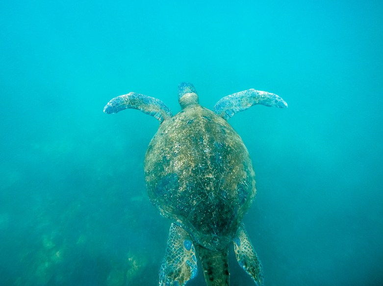 Galapagos Sea Turtle, Los Tuneles. Isla Isabela