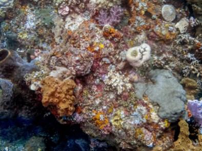 Corals at Tulamben Wall (Drop-off), Bali