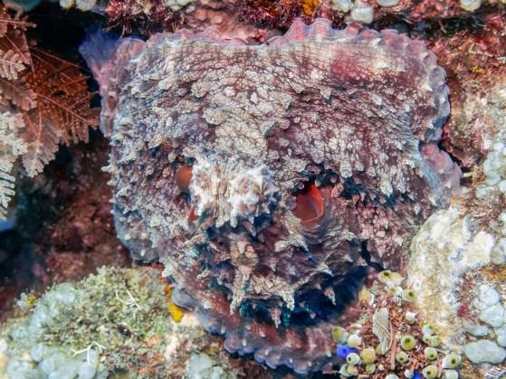 Octopus at Tulamben Wall (Drop-off), Bali