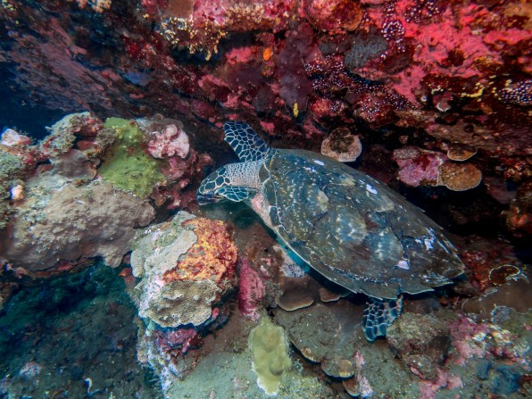 Hawksbill sea turtle at USAT Liberty Wreck Tulamben, Bali