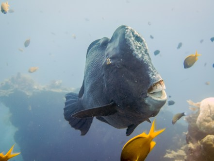 The bumphead parrotfish glides slowly around the USAT Liberty Wreck