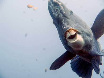 The bumphead parrotfish liked to get close at the USAT Liberty Wreck