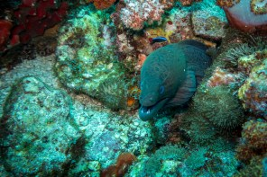 The fimbriated moray eel of Hin Daeng in Thailand