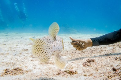 Sanae calls the pufferfish to play atKoh Haa - Koh Lanta Diving