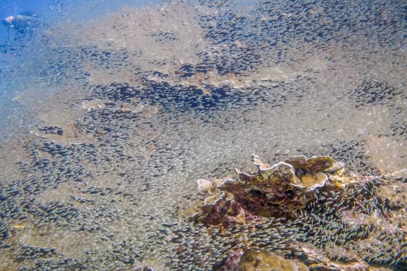 Wall of glassfish at Koh Haa - Koh Lanta Diving