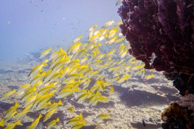 Schools of yellow fish Koh Haa - Koh Lanta Diving -52