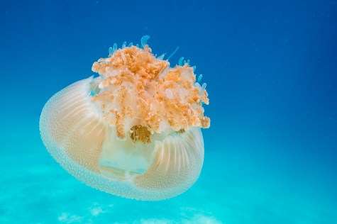 Practicing underwater photography of a common jellyfish at Koh Haa