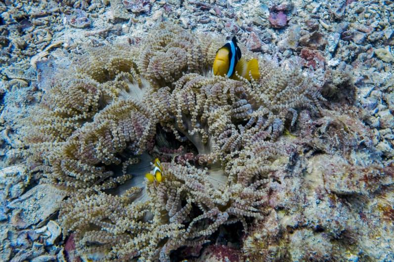 Clownfish at Koh Haa - Koh Lanta Diving