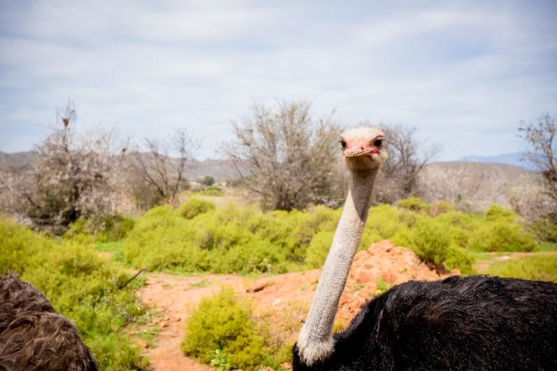 Awkward ostriches at Safari Ostrich Show Farm