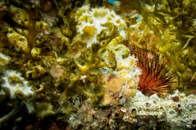 A beautiful painted frogfish blends in with the corals on our Dauin muck dive in the Philippines