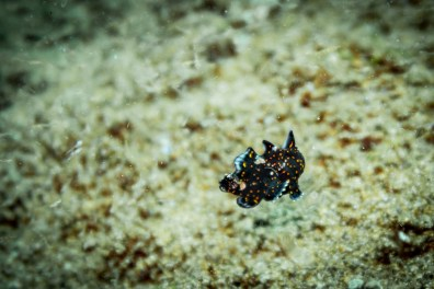 So cool to see a swimming painted frogfish during our Dauin muck dive in the Philippines