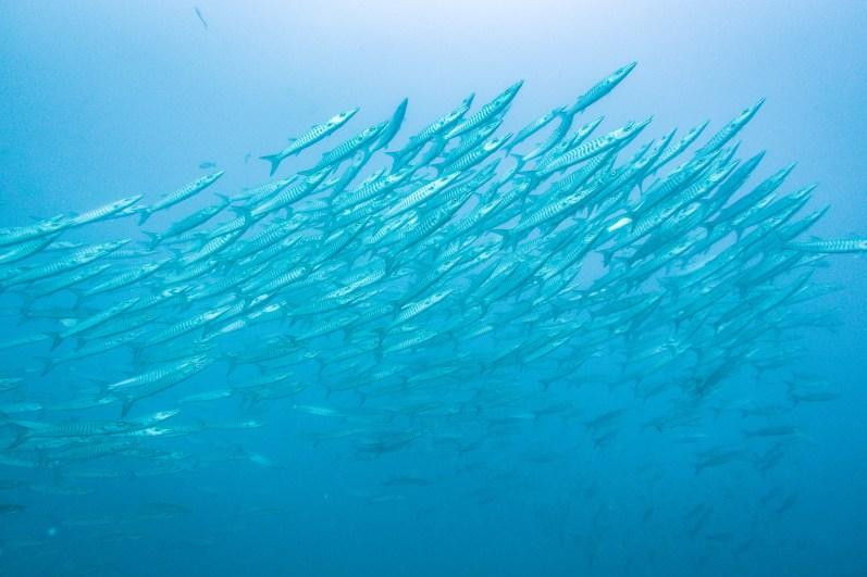 Southwest Pinnacle chevron barracudas