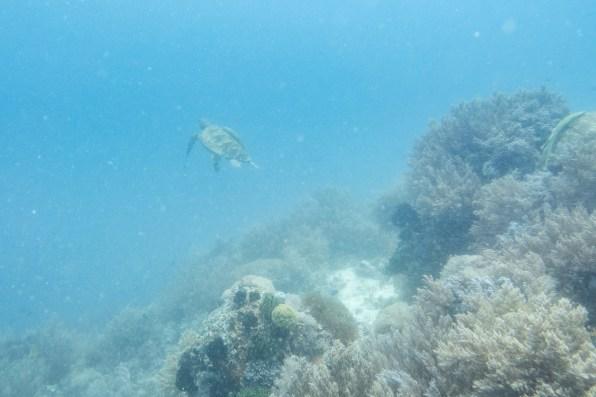 Sea Turtle AWARE Specialty Course while Diving Balicasag Island with Sierra Madre Divers