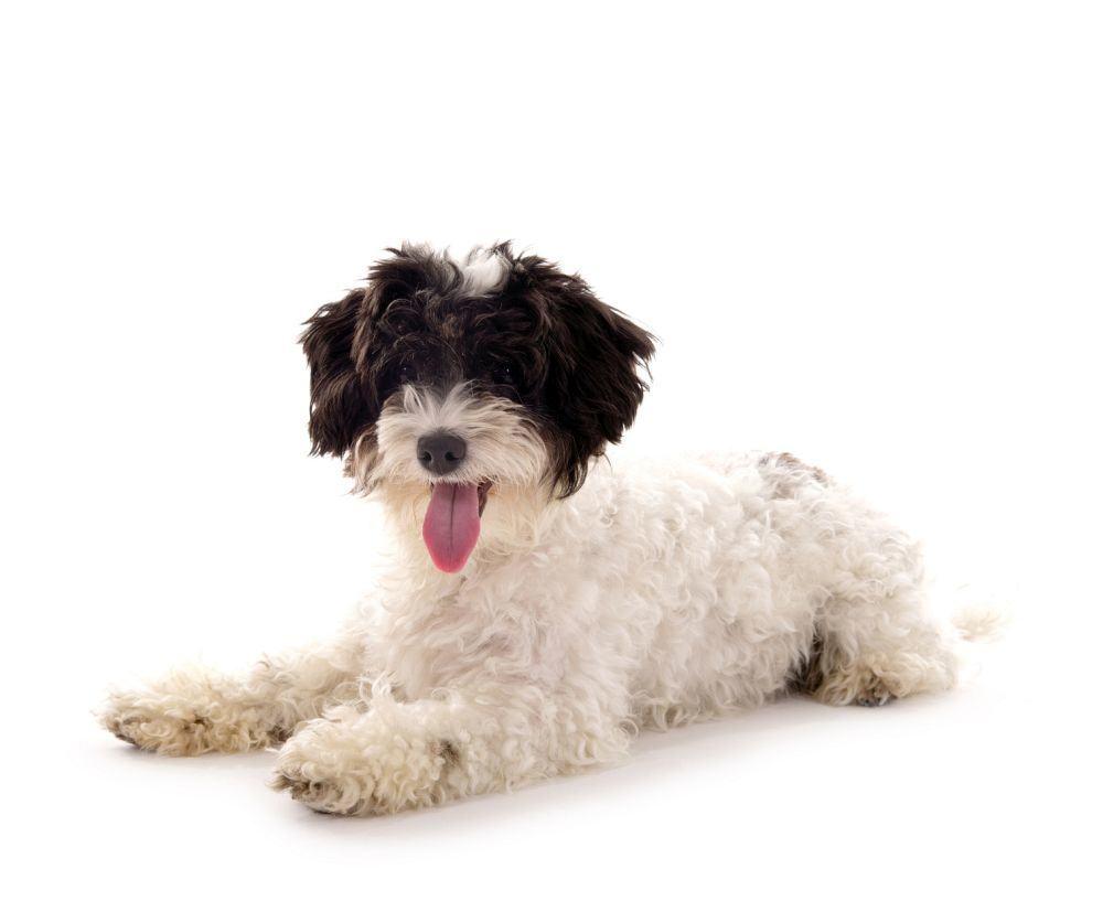 Kleiner Hund – Bolonka Zwetna – liegend