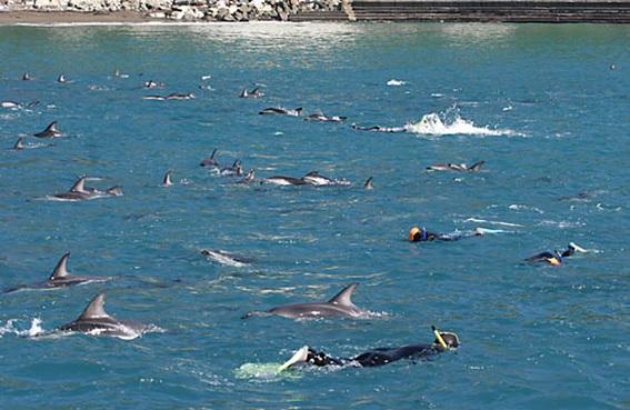 turistas nadando com golfinhos na Nova Zelândia