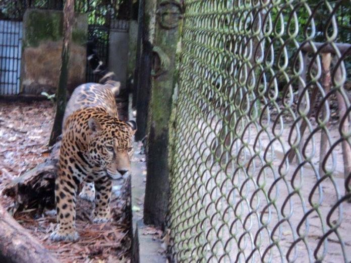 Onça pintada do zoológico de Iquitos