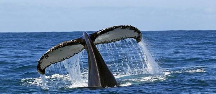 Calda de uma baleia jubarte