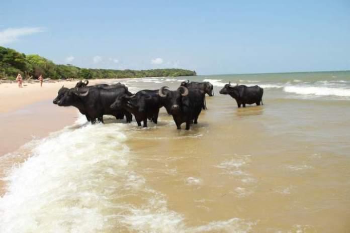 búfalos Ilha de Marajó