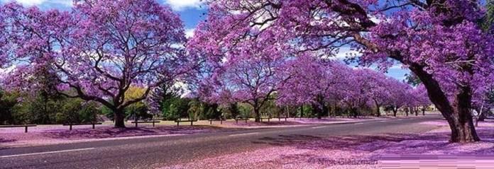 Caminho de Jacarandás na África do Sul é um dos lugares que possui as mais belas ruas floridas do mundo