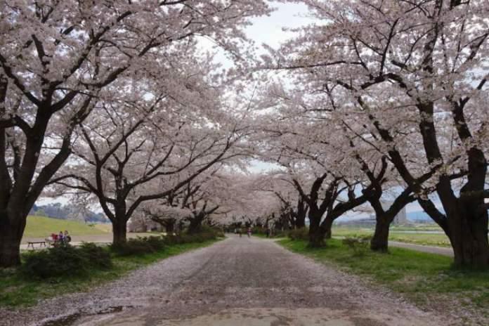 Túnel Sakura no Japão é um dos lugares que possui as mais belas ruas floridas do mundo