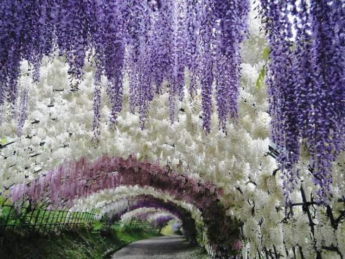 Túnel de Glicínias no Japão é um dos lugares que possui as mais belas ruas floridas do mundo