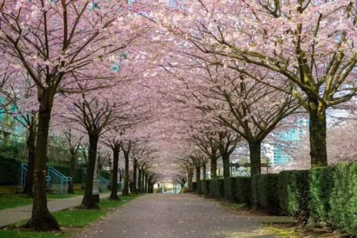 Festival das Cerejeiras em Vancouver é um dos motivos para viajar em Abril 2018