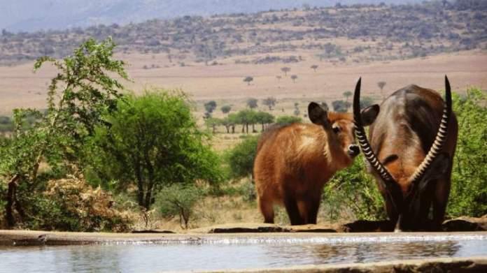 Safári na África no Kidepo Valley National Park