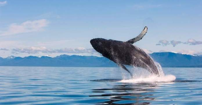 Baleias saltando no Alasca