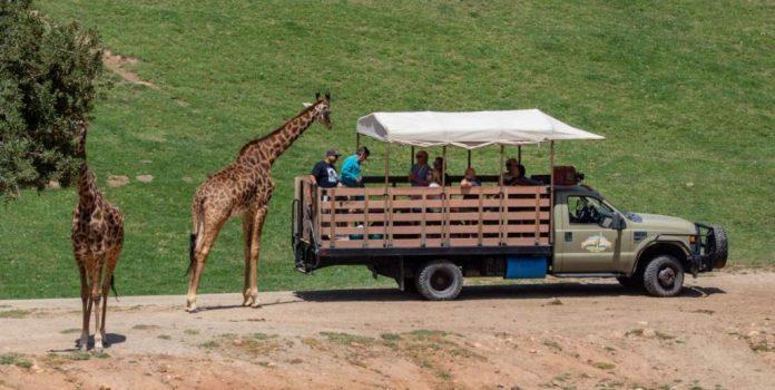 Girafas no safári em San Diego, Califórnia