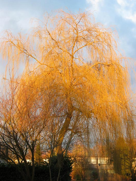 Fall Pictures For Desktop Wallpaper Treurwilg Salix X Sepulcralis Weeping Willow Bomen