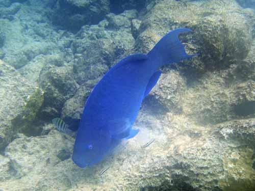 Blueparrot