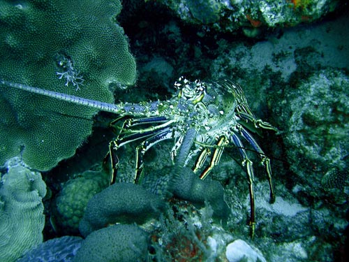 Caribbeanspinylobster