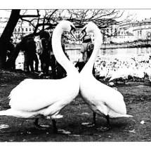 Swans Heart Shape