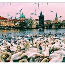 Swans and Charles Bridge