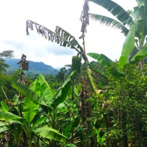 Jardin Banana and Coffee Plants