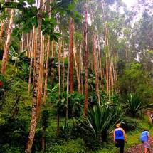 Jardin Hike Eucalyptus Trees