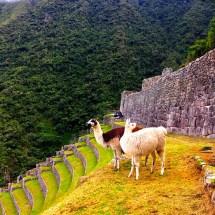 Winay Wayna llamas