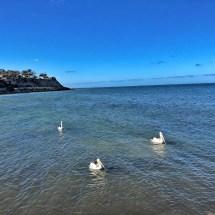 pelicans in Kingscote