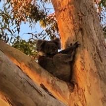 A koala in the backyard
