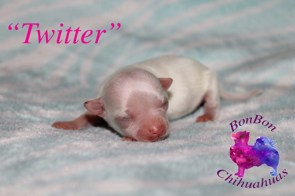 BonBon Chihuahuas Websites litter Twitter chihuahua puppy