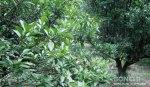 我が家の柚子畑
