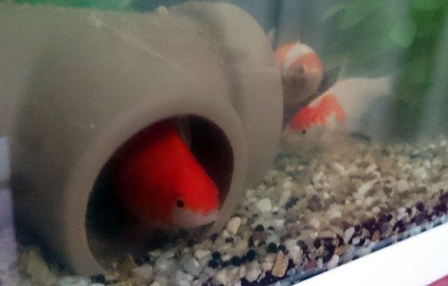 金魚_001