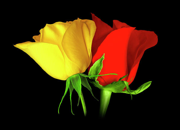 red-and-yellow-roses-bonnie-kaye