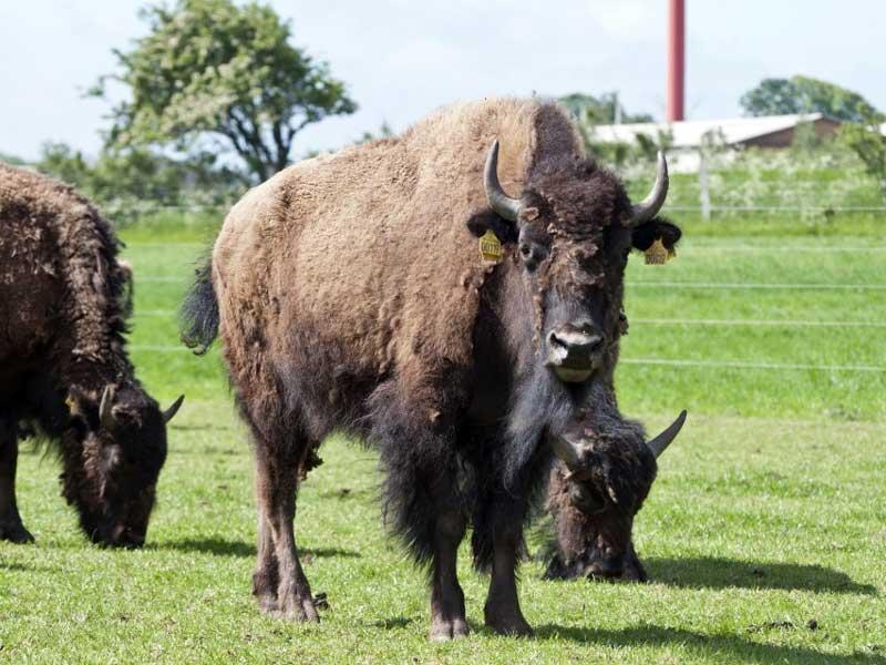 Nørre Kærgård Bison
