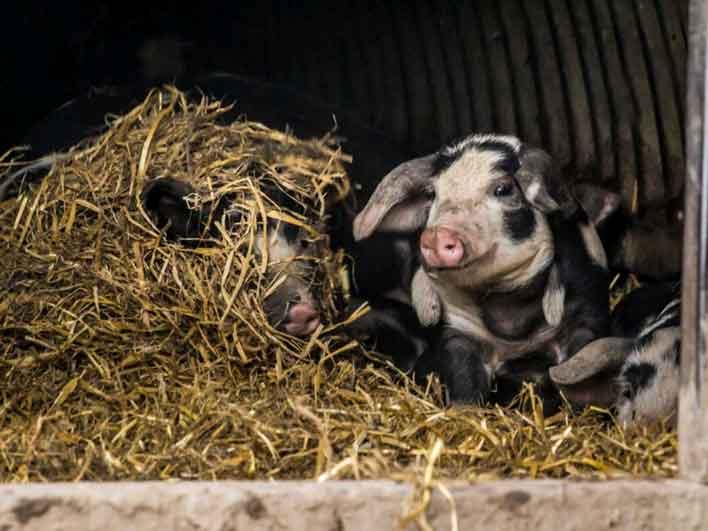 Bestil gris, gås og and fra Birthesminde