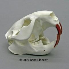 Coyote Teeth Diagram Honda Accord Stereo Wiring Beaver Skull Diagram, Beaver, Free Engine Image For User Manual Download