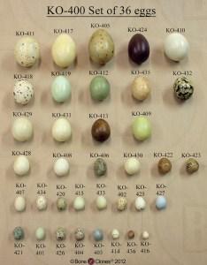 North american bird egg set from bone clones this page shows  of eggs variety birds along with key also nests  montana science partnership rh sciencepartnersfo
